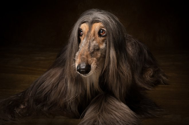 Arizona Pet Photography and Afghan Hound Dog Portraits