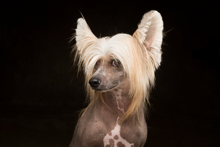 Arizona Pet Photography and Chinese Crested Dog Portraits