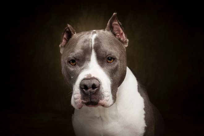 Arizona Pet Photography and Pitbull Dog Portraits