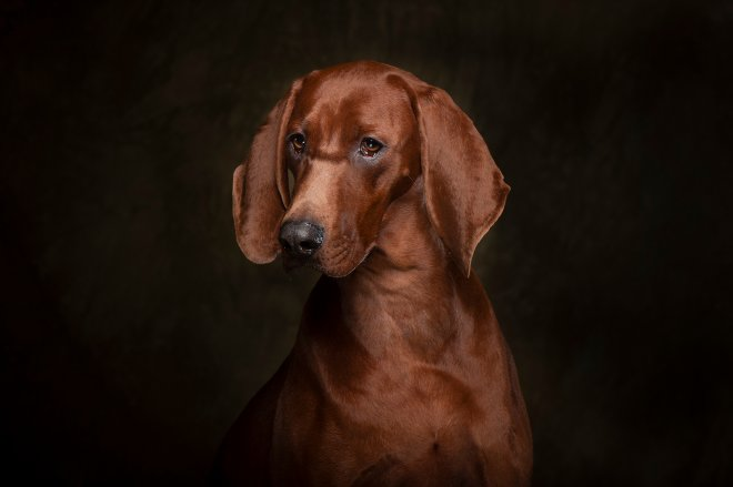 Arizona Pet Photography and Coonhound Dog Portraits