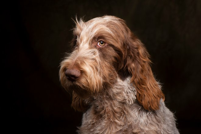 Arizona Pet Photography and Spinoni Italiano Dog Portraits