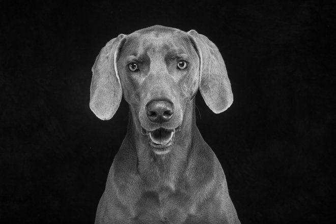 Arizona Pet Photography and Weimaraner Dog Portraits