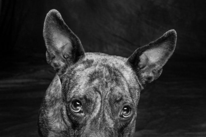 Arizona Pet Photography and Catahoula Dog Portraits
