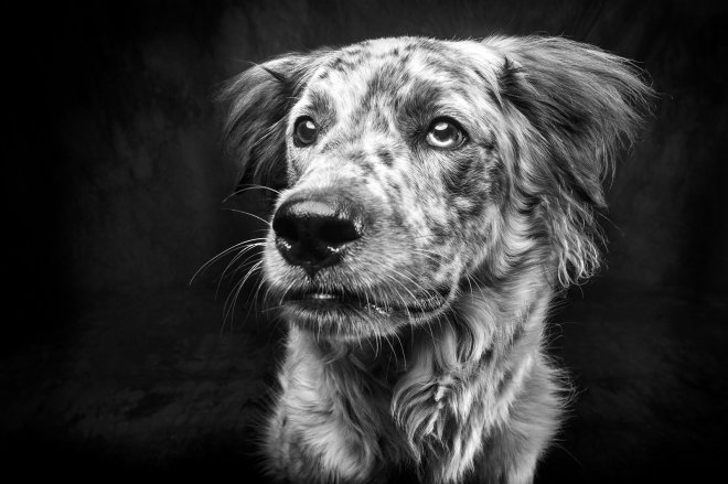 Arizona Pet Photography and Australian Shepherd Dog Portraits