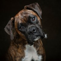 Arizona Pet Photography and Boxer Dog Portraits