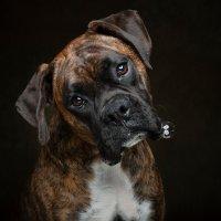Arizona Pet Photography and Boxer Dog Portraits