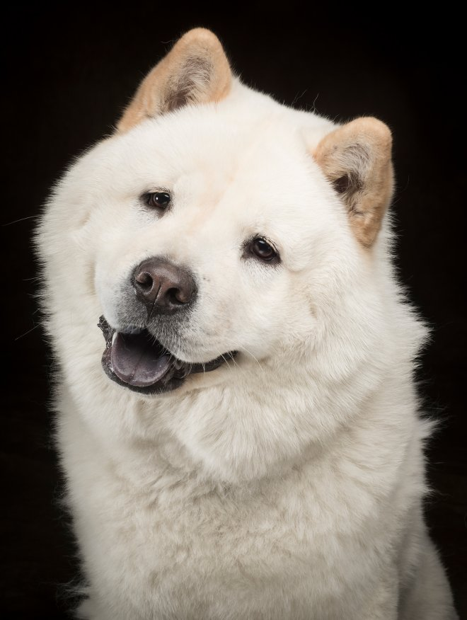 Arizona Pet Photography and Chow Chow Dog Portraits