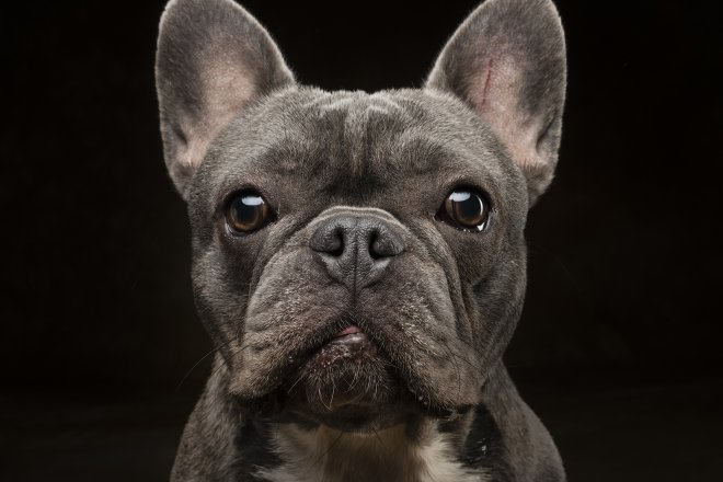 Arizona Pet Photography and French Bulldog Dog Portraits
