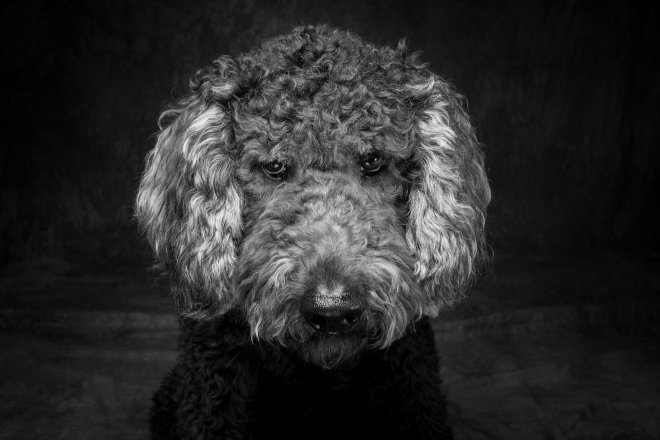Arizona Pet Photography and Goldendoodle dog Portraits