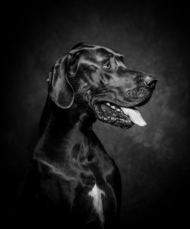 Arizona Pet Photography and Great Dane Dog Portraits