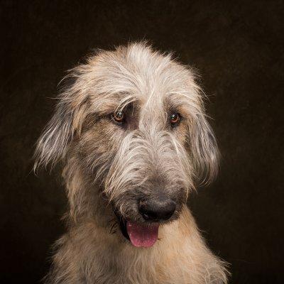 Arizona Pet Photography and Irish Wolfhound dog Portraits
