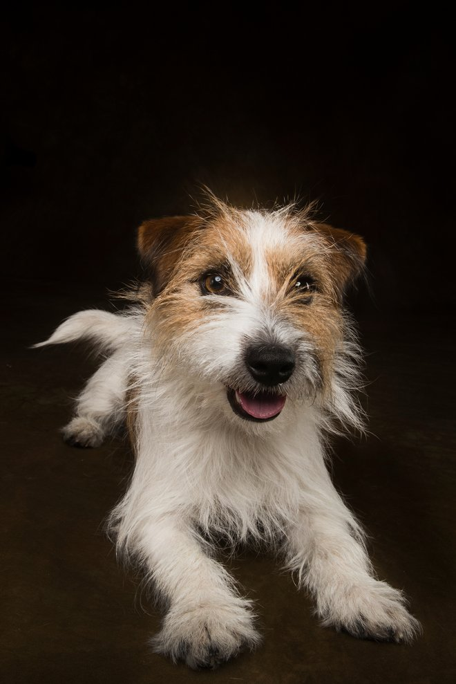 Arizona Pet Photography and Jack Russell Terrier Dog Portraits