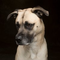Arizona Pet Photography and Mastiff Dog Portraits