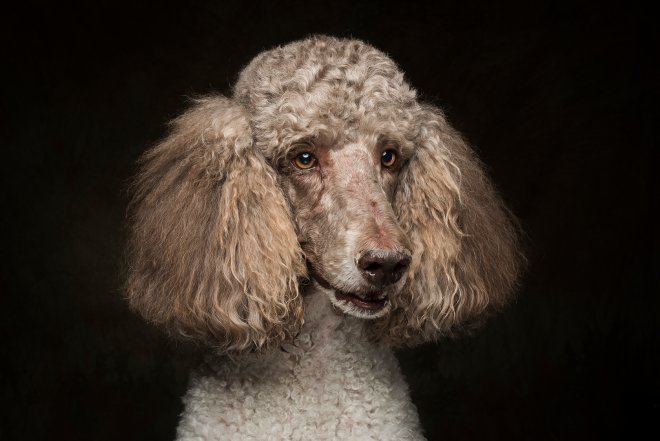 Arizona Pet Photography and Poodle Dog Portraits