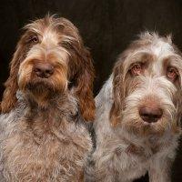 Arizona Pet Photography and Spinoni Italiano Dog Portraits