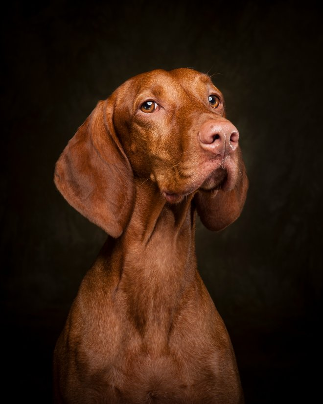 Arizona Pet Photography and Vizla Dog Portraits