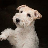 Arizona Pet Photography and Wheaten Terrier Dog Portraits