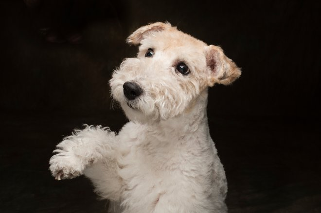 Arizona Pet Photography and Wheaten Terrier Dog Portraits
