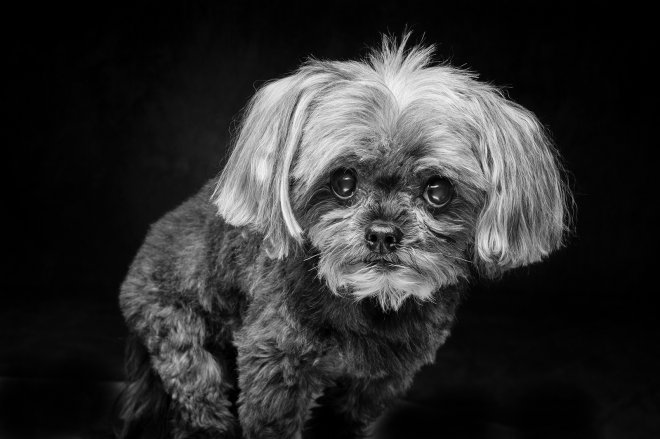 Arizona Pet Photography and Yorkie Dog Portraits